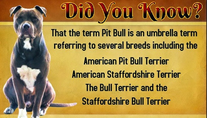 pitbull did you know